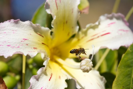 The flower Ceiba speciosa flower. Chorisia speciosa