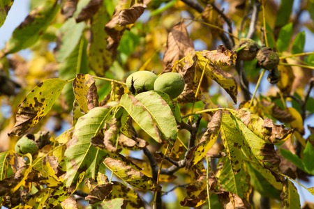 walnut tree: Autumn walnut tree with cracked fruits. Branch with green and yellow leaves