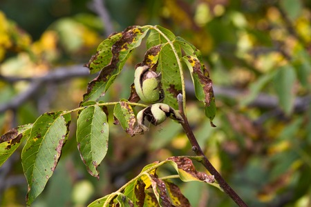 walnut tree: Walnut tree with cracked fruits. Branch with green and yellow leaves