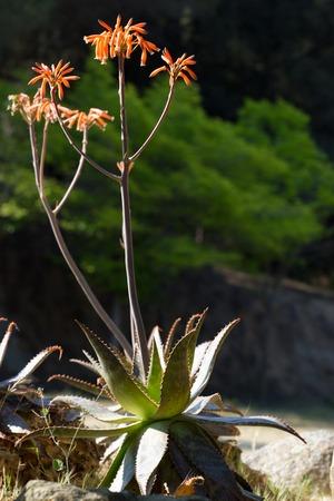 aloe vera flowers: Red flowers of medicinal aloe vera plant. Aloe vera L.
