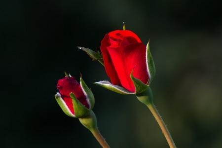 gigantea: One red rose bud in the garden. Summer love flower