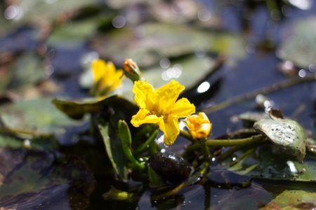 synonym: Yellow flower of aquatic lake plant Nymphoides peltata. Synonym of Villarsia nymphaeoides. Endangered species