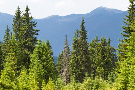 ecosistema: El abeto bosque de abetos en los Cárpatos ucranianos. ecosistema clara Sostenible Foto de archivo