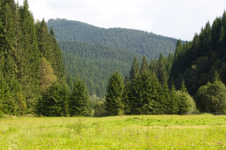 ecosystems: Spruce fir forest in the Ukrainian Carpathians. Sustainable clear ecosystem Stock Photo