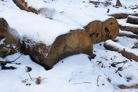 総: Winter pine stump, result of tree felling. Total deforestation, cut forest
