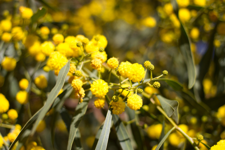 bola ocho: Yellow ball of mimosa flowers. Woman s day, 8 march Foto de archivo