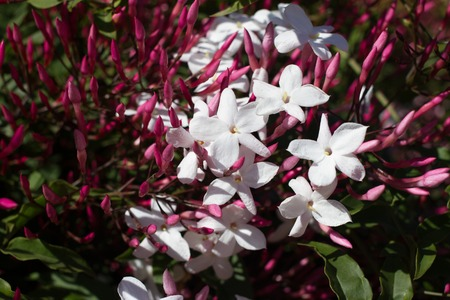 Jasminum polyanthum, sambac pink flower. Odorate star liana