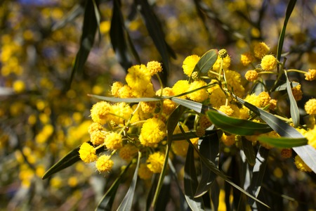 Yellow ball of mimosa flowers. Woman s day, 8 march Stock Photo