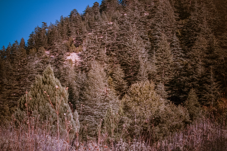 pinaceae: Lebanese cedar tree in the forest peak mountains