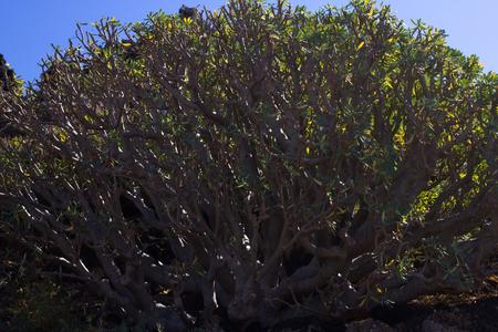 Arid territory of Lobos island, Canary, Spain. Euphorbia balsamifera plant. Tabaiba dulce. Lanzarote Stock Photo