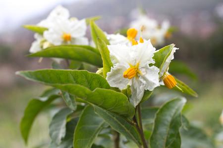 Solanum white flower macro. Blooming potato. Natural background garden Stock Photo - 75639993
