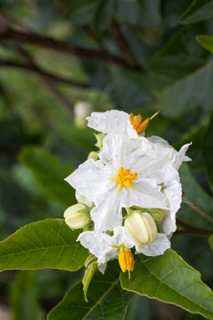 Solanum white flower macro. Blooming potato. Natural background garden