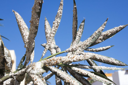 pest control: Oleander leaves densely covered with scale insects. Mealy mealybug.