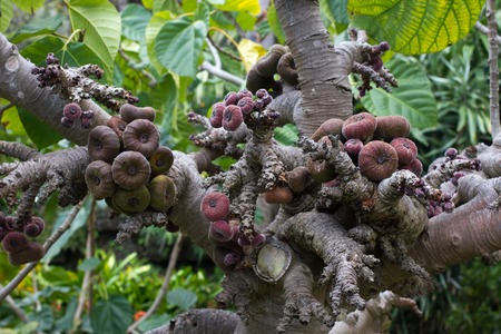 Ficus aspera with small colorful figs. Agricultural, ornamental fruits