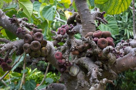 Ficus aspera con piccoli fichi colorati. Frutti agricoli e ornamentali