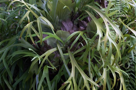 Close up photo of Platycerium leaves. Staghorn fern