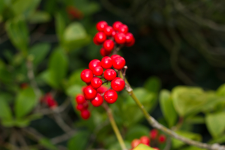 Skimmia japonica shrub with leaves and red berries. Japanese sorbus Stock Photo