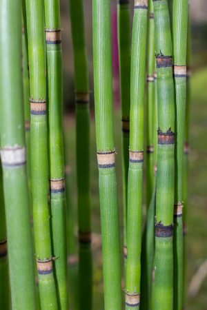 Long equisetum stalk. Green wallpaper with bamboo