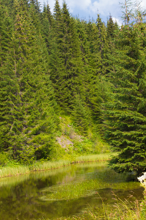 Spruce forest in the Ukrainian Carpathians. Sustainable clear ecosystem Stock Photo