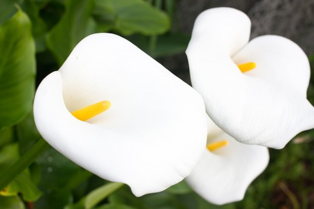 Group of calla flowers in the garden. White lily.