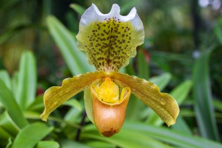 Żółta orchidea Cymbidium w doniczce. Kwiat i kwiat macierzystych Zdjęcie Seryjne