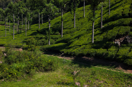 Coonoor, green field, tea plantation. Nilgiri mountain railway. India
