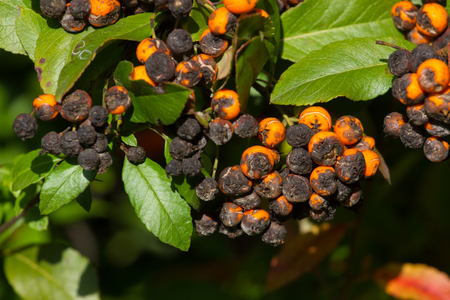 ides: Plant fungus infestation. Pyracantha coccinea scab infection. Scarlet firethorn plant.