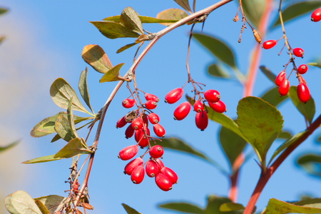 Branch of common barberry on sky background. European barberry red fruits. Stock Photo