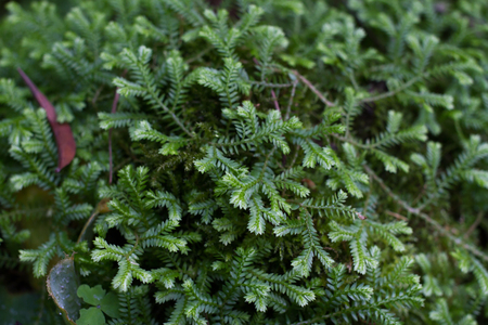 Selaginella sp. fern. Spike mosses expand out stones.