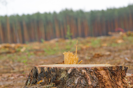 Forest cut down. Pine trees lying in forest after deforestation, firewood. Pile of wood