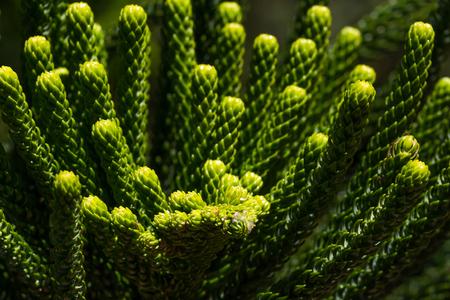 chilean: Macro araucaria branches closeup. Green coniferous plant. Monkey puzzle tree. Chilean pine Stock Photo