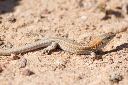common blue: Lizard Lagarto ocelado Stock Photo