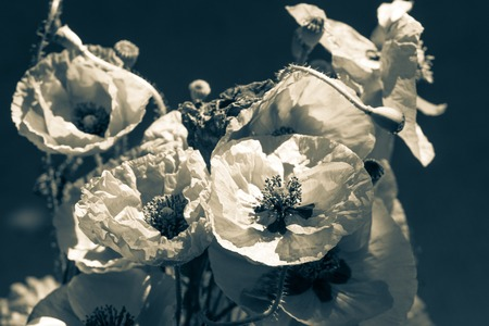 Bouquet of poppies. Red flowers sign of remembrance day. Black and white background Stock Photo