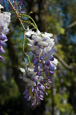 Photograph of wisteria, glicinia in bloom in the middle of spring. Violet spring flowers