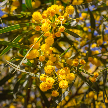 Blossoming of mimosa tree acacia pycnantha golden wattle close yellow flowers blossoming of mimosa tree acacia pycnantha golden wattle close up in spring bright mightylinksfo
