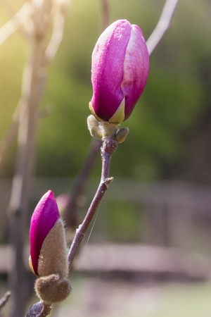 Macro bud of pink magnolia flower on tree branch. Spring blossoming