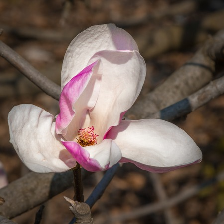 One pink magnolia flower on tree branch. Spring blossoming Stock Photo