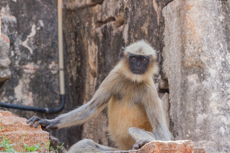 Gray langur macrophoto. India temple, Hampi, Karnataka Hanuman langurs