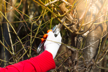 Gardener pruning fruit trees with pruning shears on nature background.