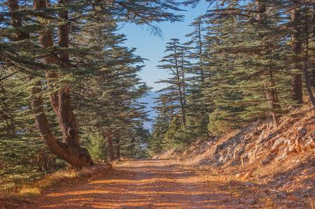 Forest trail. Way to peak. Cedar tree. Coniferous forest Archivio Fotografico