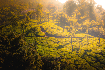 Coonoor, green field, tea plantation. Nilgiri mountain railway India Munnar