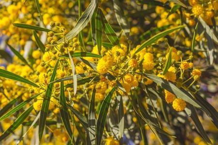 abstract acacia blossom. Soft focus, spring Background