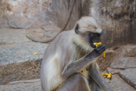 Monkey eat banana fruit, species Semnopithecus priam, commonly know as Tufted Gray Langur, India , Asia