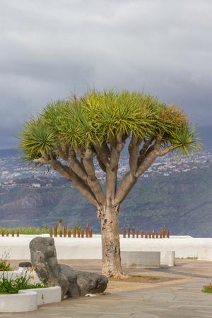Dragon tree on the Canary islands, Spain. Dracaena draco