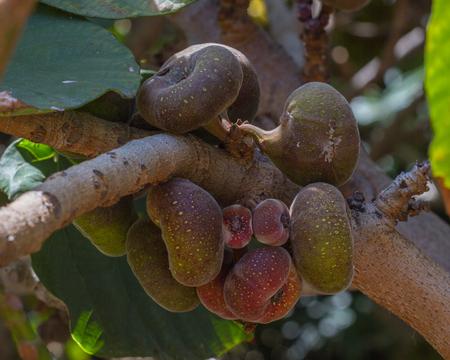 Ficus aspera, fico corona, con piccoli fichi colorati. Frutti agricoli, ornamentali