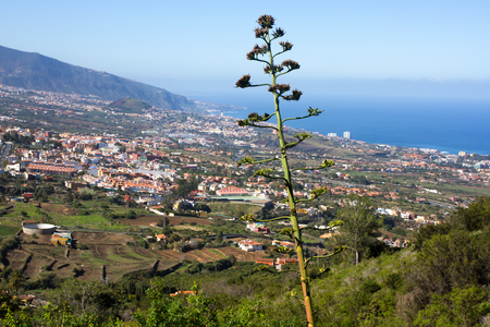Flowering Agave americana against city and sea side. LA Orotava valley on Canary islands, Spain. Archivio Fotografico