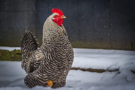 Bossy rooster. Color cock on snow in the farm Stock Photo