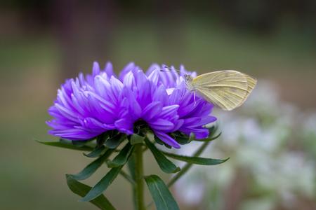 brimstone on aster. Gonepteryx rhamni, common brimstone. Butterfly on flower