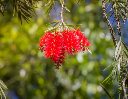 Callistemon family Myrtaceae, widely cultivated in many other regions and naturalized in scattered locations.