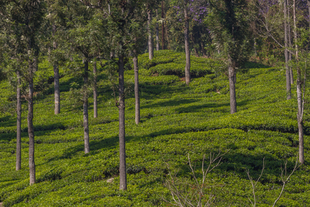 Highland tea plantation. Coonoor. Tree on the field